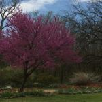 redbud in bloom in one of the gardens