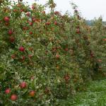 A row of heavily loaded Honey Crisp apple trees.