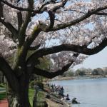 桜よりも、釣りに夢中なおっちゃん達|( ̄3 ̄)|