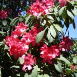 Rhododendrums at the Mendicino Botanical Gardens