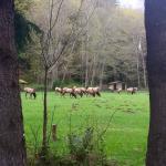 Elk in the camp