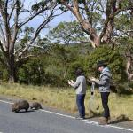 Lucky to see Wombats at Cradle Mountain