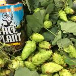 Face Plant uses LOCAL hops!  Crazy!  Must Try!