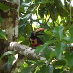Firey-billed Aracari