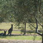 Friendly Kangaroos - Visited every day!