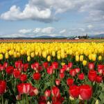 Tulip Time