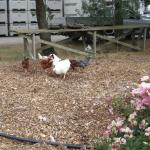 Chooks in the grounds, en route to the carpark from the restaurant