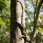 Iguana on the property of the ecolodge