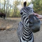 Zebra named Tattoo