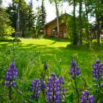 Wild lupine surrounding the lawn and view of the Main Lodge.