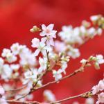 真っ赤なカエデをバックにした四季桜