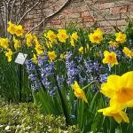 a host of golden daffodils ...and a 17th century walled garden