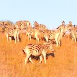 Zebras on Zulu Water Game Reserve