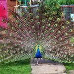 Beautiful Peacock at FarmyardFunworld