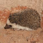 This little African Hedgehog was seen at night, before I frightened him and he curled into a bal