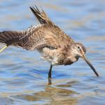 Dowitcher Stretching