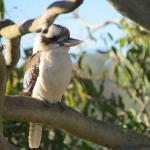 Kookaburra in a tree next to the deck.