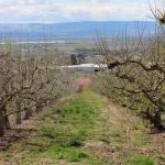 Rows of apple trees.