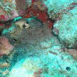 poisson coffre (spotted trunkfish)