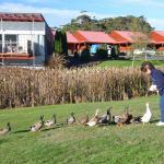 Tall Timbers resident ducks enjoy a few scraps
