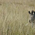 Zebras on the estate