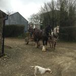 The shire horses