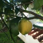 Fresh fruit in the grounds