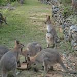 Kangaroo ( Wallaby) feeding every afternoon at 16.30 h