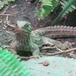 The elusive Tuatara