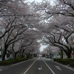Sagamihara City Hall Sakura Street