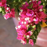 Flowering bougainvillea in the gardens
