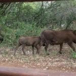 Warthog family going for a drink. Daily view whilst having coffee outside