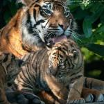 Kirana and one of her cubs