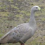 Cape Barren goose at Postman's cottage