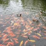 إطعام الأسماك في الحديقة