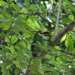 Toucanet - spotted by John