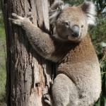 Morning koala siting just across drive from the driveway!