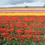 Fields and fields of tulips