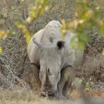 Walking  to see this Rhino at +/- 50m distance