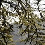 Pine trees near cemetery