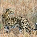 Beautiful female leopard seen on Djuma