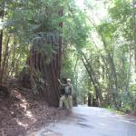 Another large Redwood near cottage.