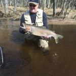 Big, Wild Steelhead Trout On The Pere Marquette