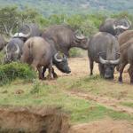 Cape buffalo group
