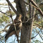 Hawk in the campground