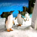See our cheeky Gentoo Penguins slip and slide across the snow-covered ice