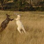 2 Wallaroos having a bust up over a female