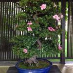 Crespi Bonsai Parabiago