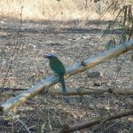 MotMot Bird by road