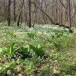 Skunk cabbage and False rue anemone